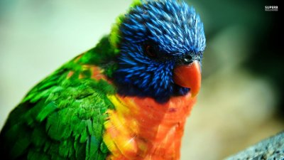 Rainbow Lorikeet Full HD Wallpaper and Background Image | 1920x1080 | ID:406199