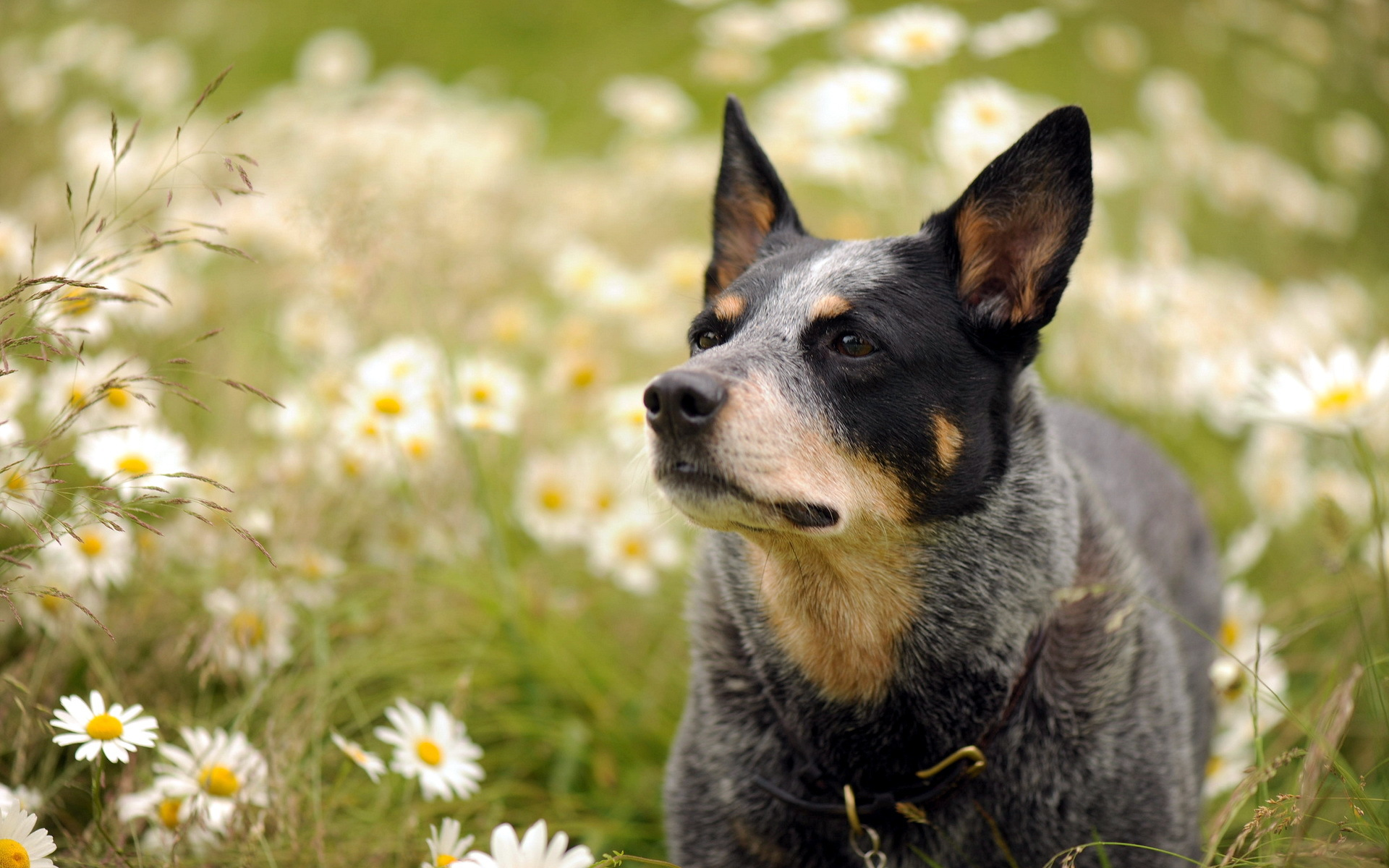 Australian Cattle Dog Australian Cattle Dog Hd Wallpaper Background Image