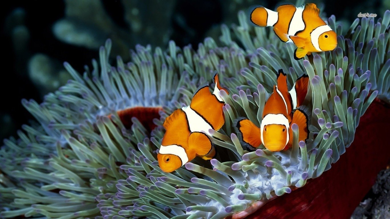 Iphone 5 Clown Fish Wallpaper Clownfish Wallpaper And Background Image 1366x768 Id