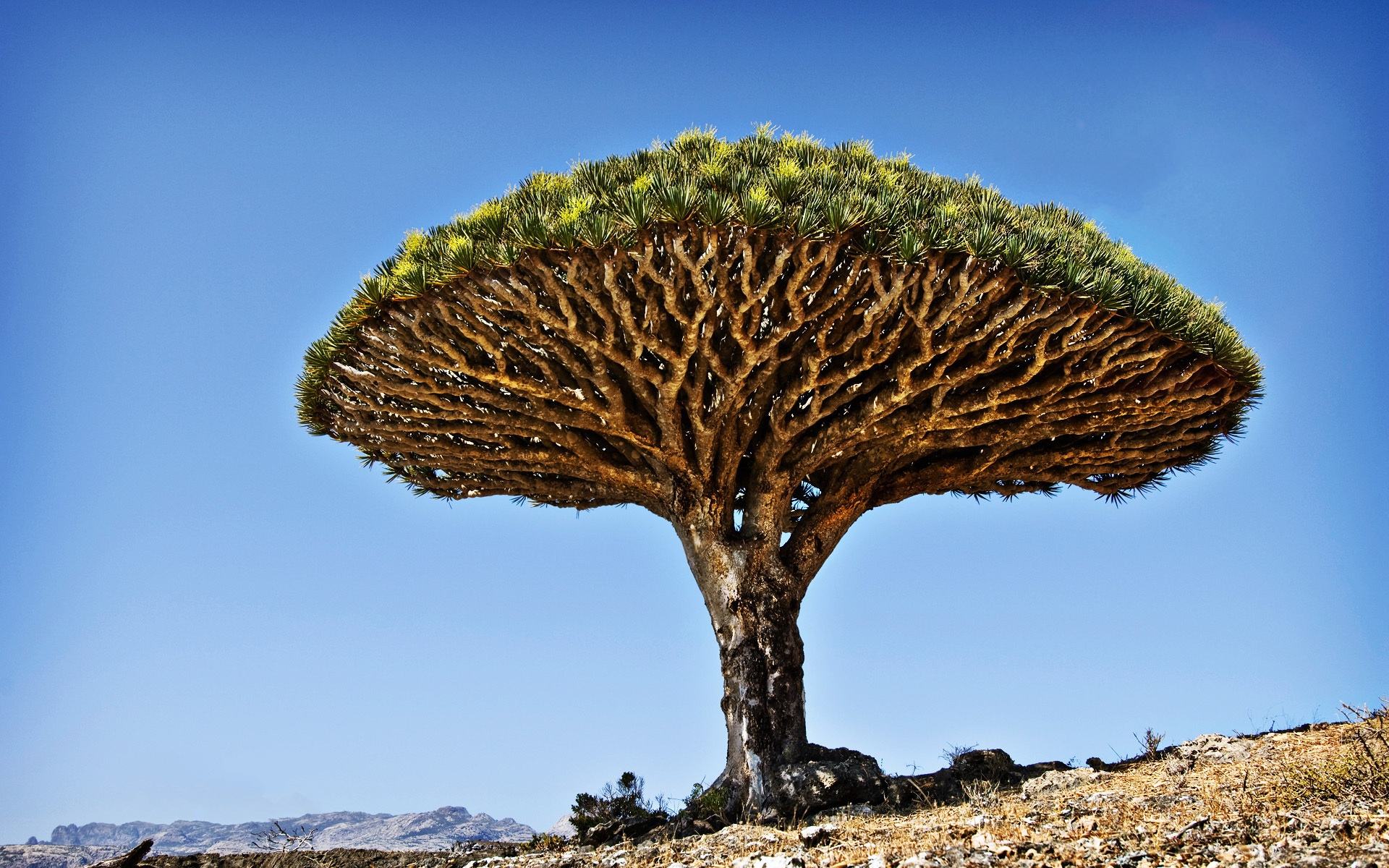 Discovery Channel Hd Wallpapers The Mushroom Shaped Dragon Blood Tree Full Hd Wallpaper