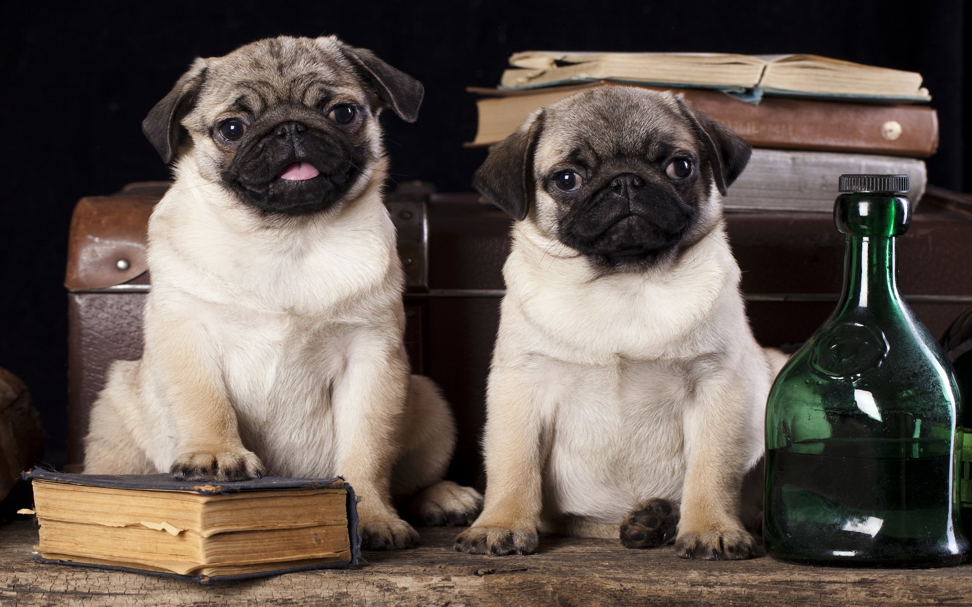 Pug Iphone Wallpaper Pug Full Hd Wallpaper And Background Image 1920x1200