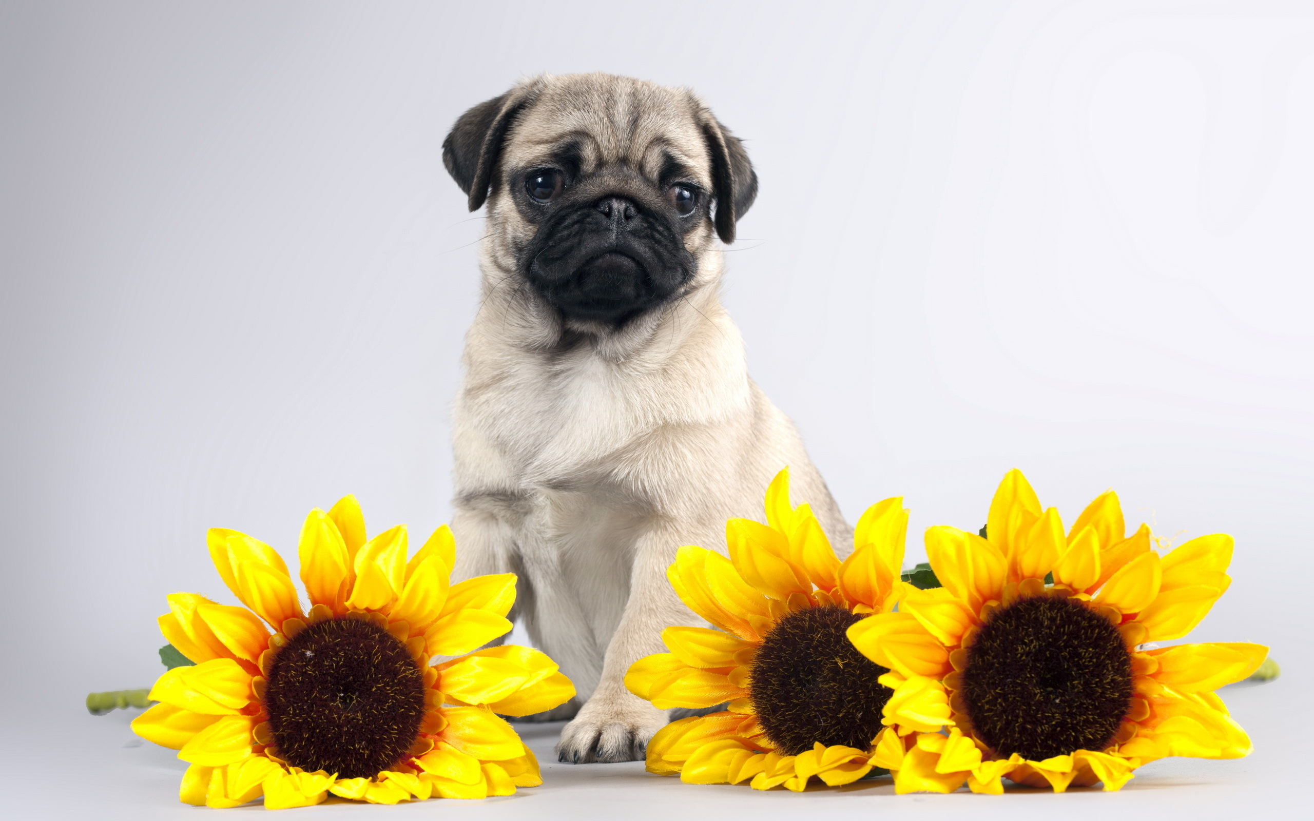 Pug Iphone Wallpaper Pug Full Hd Wallpaper And Background Image 2560x1600