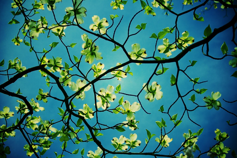 Wallpaper Iphone 5 Full Hd Dogwood Tree Branches Full Hd 壁纸 And 背景 3000x2000 Id