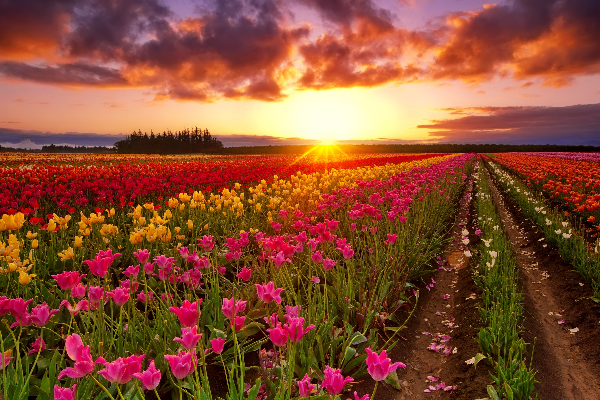 Red Iphone 7 Plus Wallpaper Tulip Field At Sunset Hd Wallpaper Background Image