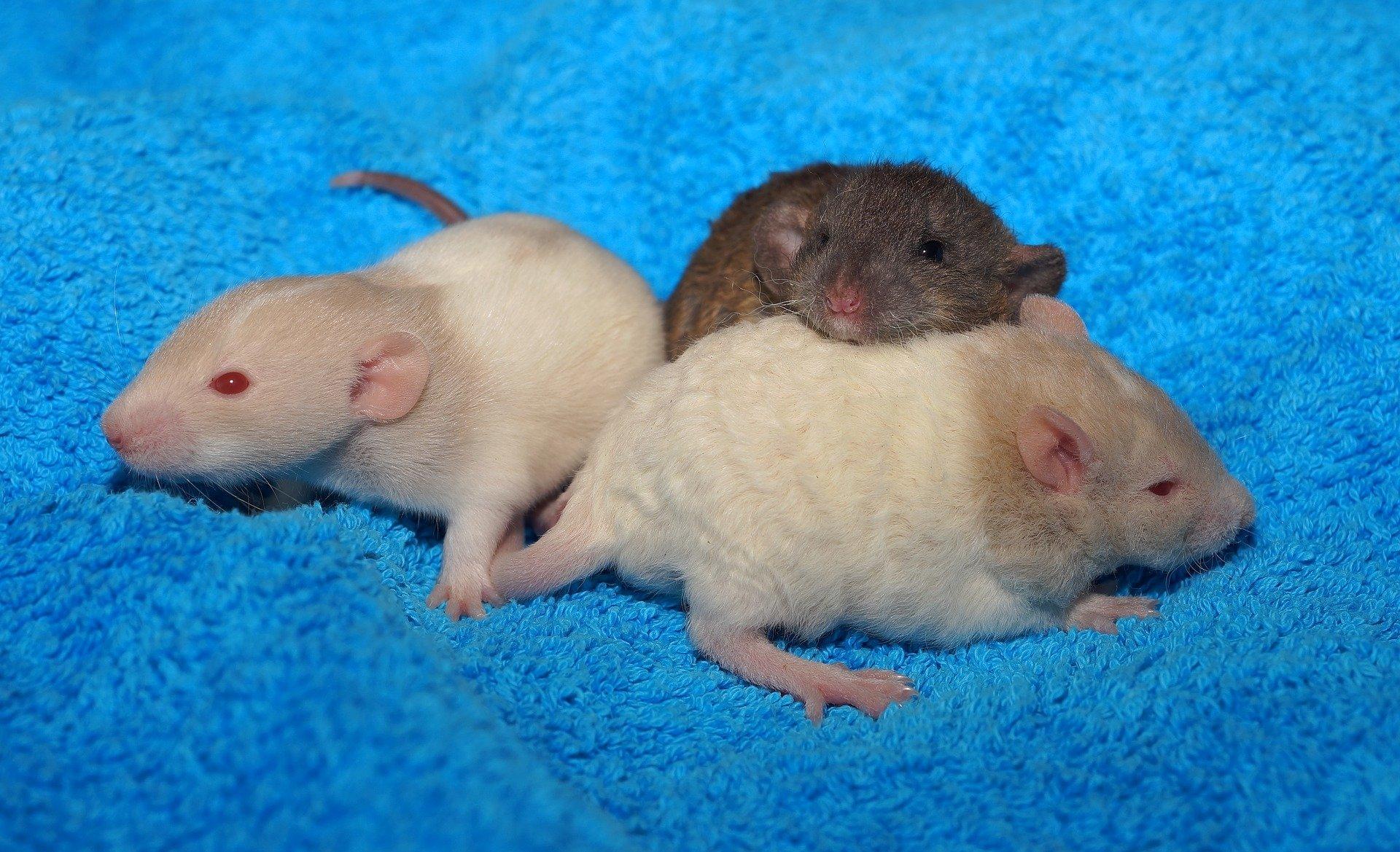 Cute Rat Wallpaper Hd 1366x768 Cute Baby Rats Full Hd Wallpaper And Background Image