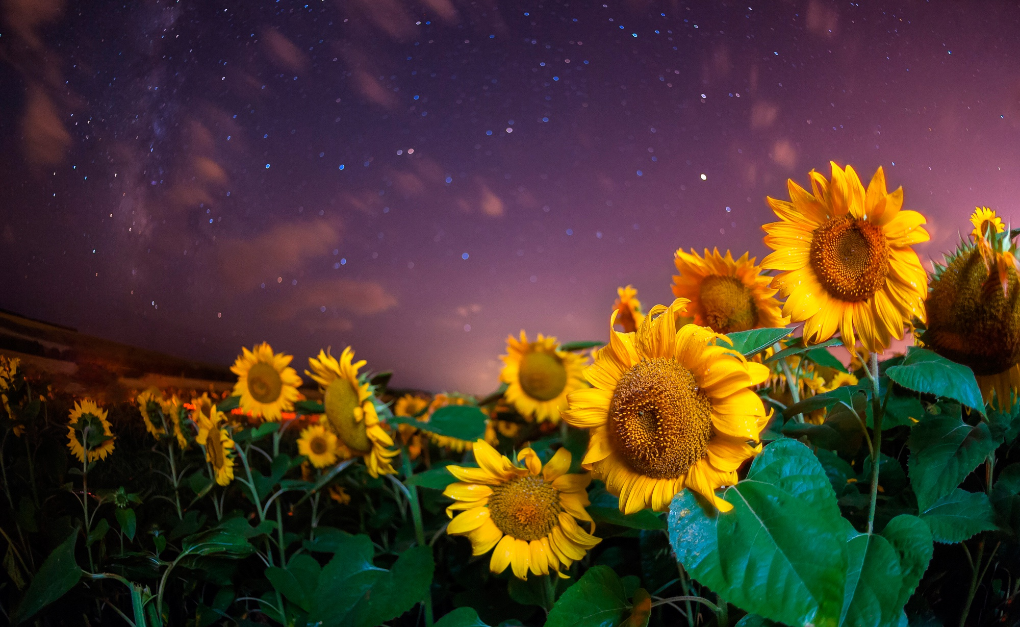 Sunflower Iphone Wallpaper Sunflower Hd Wallpaper Background Image 2000x1229 Id