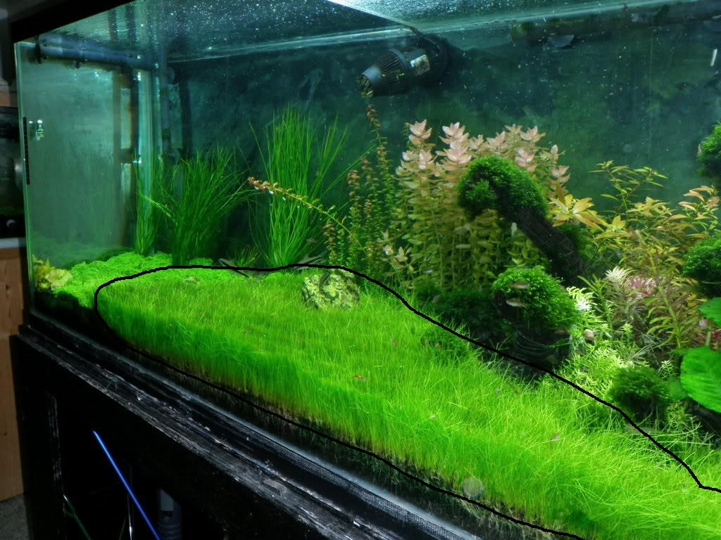 Aquarium Bottom Light 1 Small Dwarf Hairgrass Mat Carpet Wall Easy Aquarium