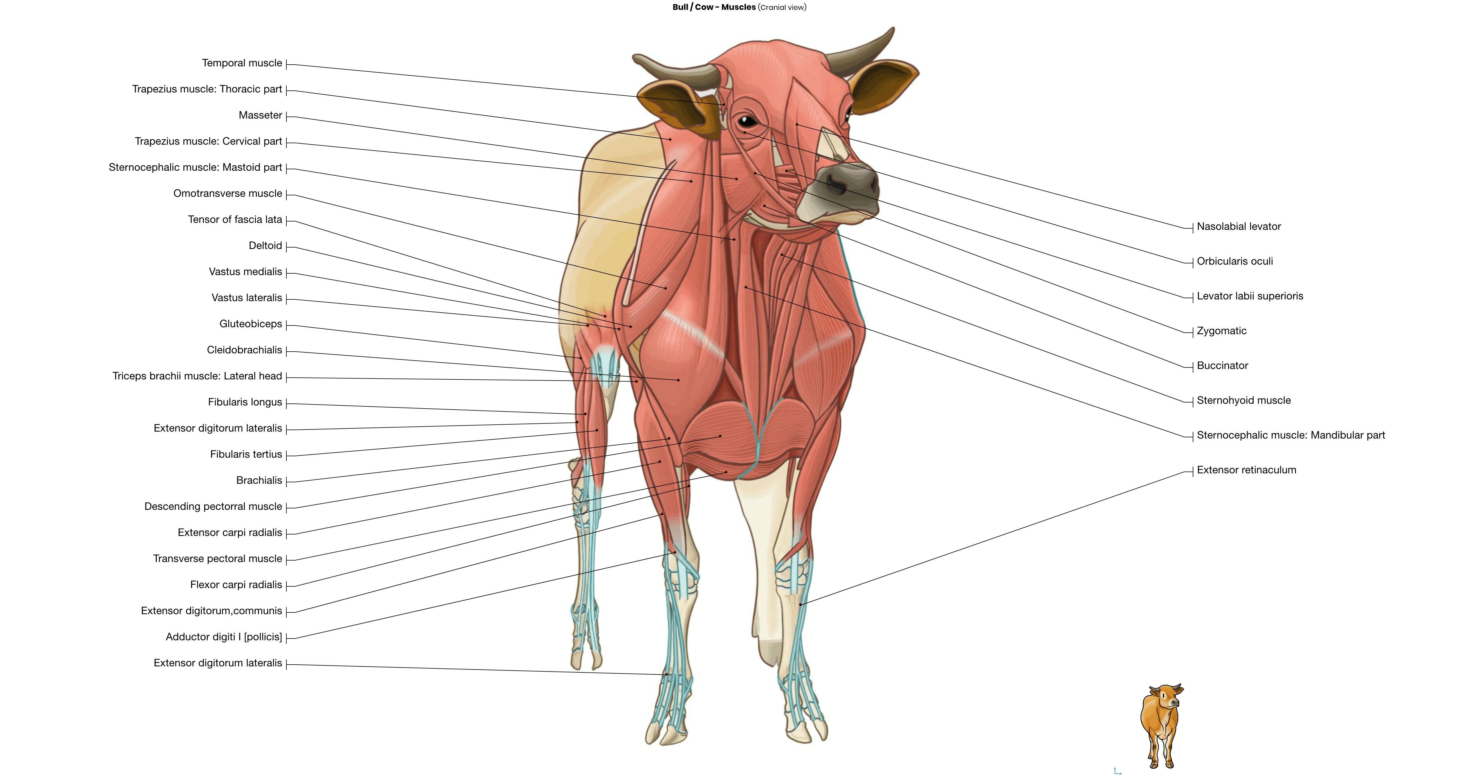 General Anatomy Of The Bull And The Cow Illustrated Atlas
