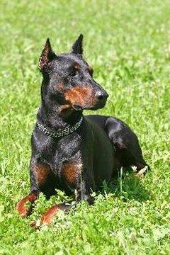 Rottweiler Fall Wallpaper Are Dobermans Dangerous Pets