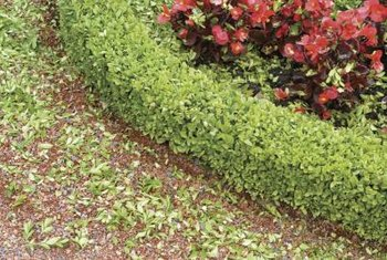 How To Plant Boxwood Shrubs Around A House Home Guides