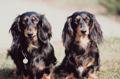 Fall Wallpaper Dog Weenie Facts About Miniature Long Haired Dachshunds Pets