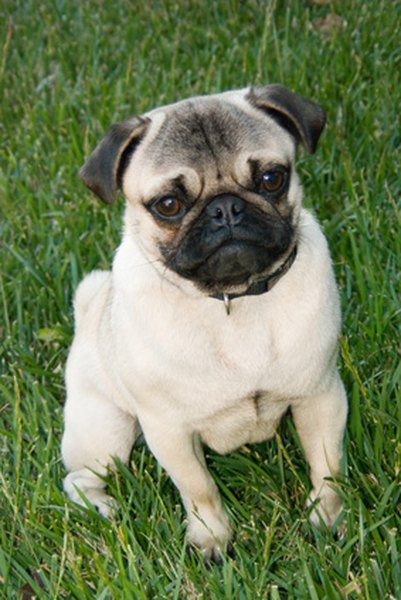 Fall Dog Wallpaper Pugs Amp Reverse Sneezing Syndrome Pets
