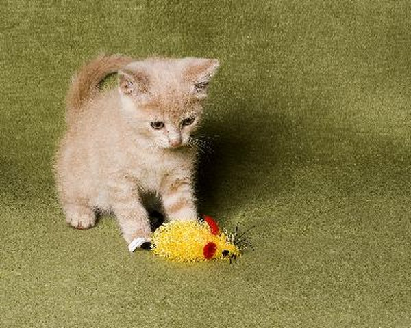 How To Kennel A Kitten During The Day Pets