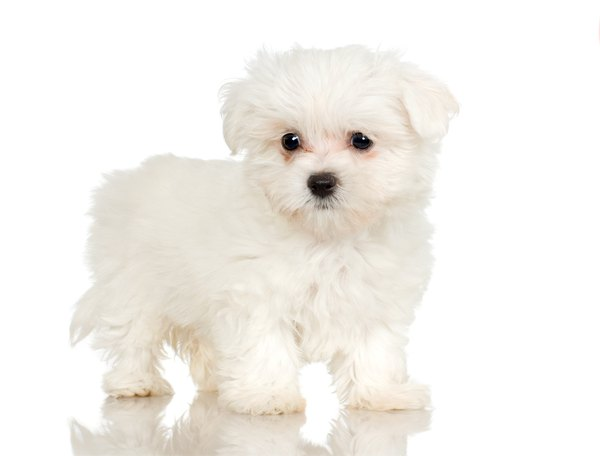 Cute Shih Tzu Puppies Wallpaper What Are The Behaviors Of The Maltipoo Puppies Dog Care