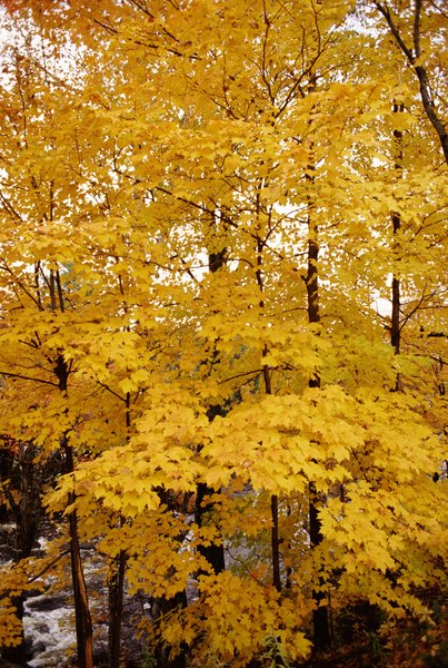 Colorado Fall Wallpaper What Is The Average Height Of Adult Maple Trees Home