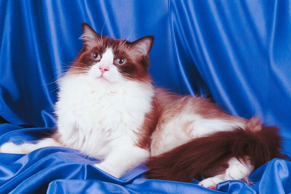 Normal Weight of Ragdoll Cats - Pets