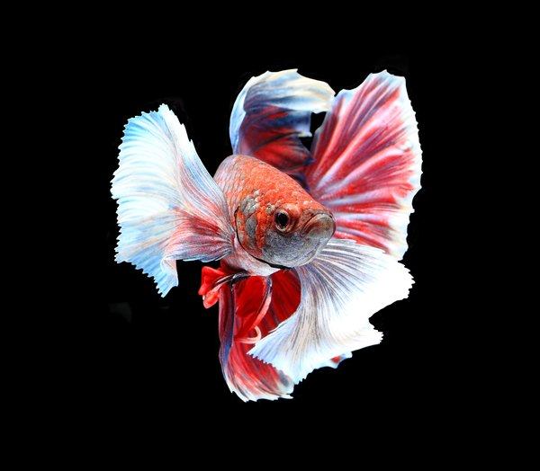 Mardi Gras Wallpaper For Iphone Facts About Crowntail Male Betta Fish Pets