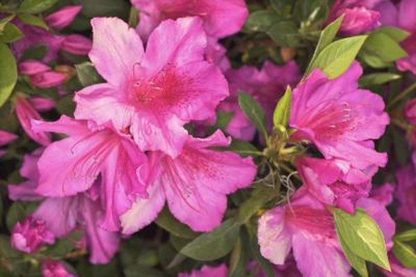 What Can You Put on Azaleas to Help Make Them Bloom? Home Guides