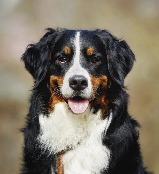 Berner Hund Grooming Techniques For Bernese Mountain Dogs | Dog Care