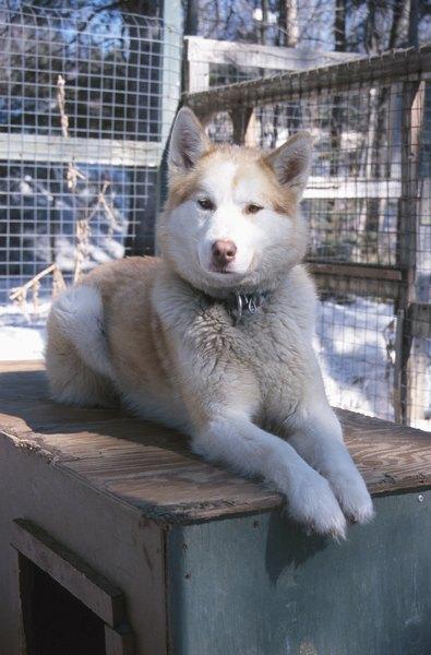 The Best Ways To Keep Huskies Groomed Pets