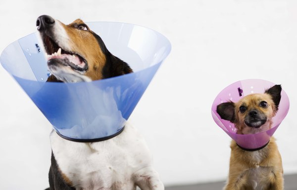 Can A Dog Eat And Drink With A Cone Collar Dog Care