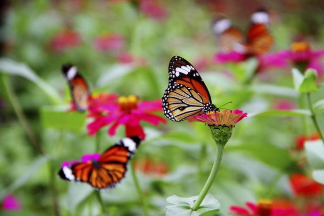Zinnias offer butterflies nectar and easy landings.
