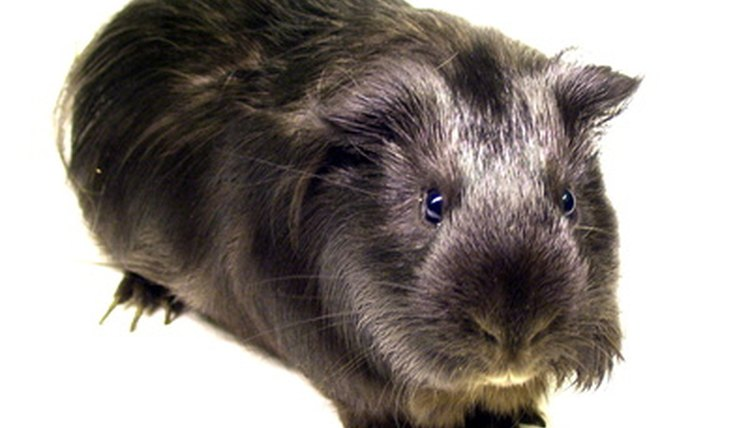 Lice Removal for Guinea Pigs Animals - momme