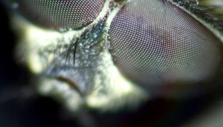 What Do Flies See Out of Their Compound Eye? Animals - momme