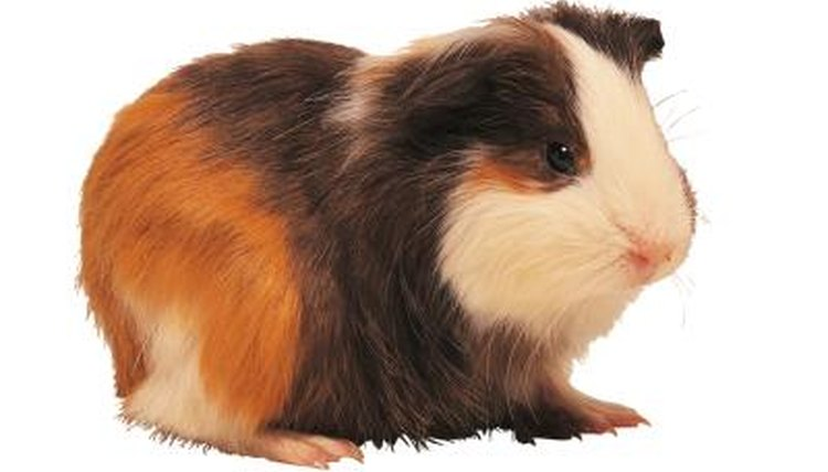 Can You Feed a Guinea Pig Pet Milk? Animals - momme