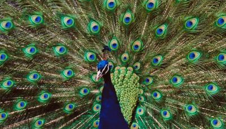 Exotic Animal Wallpaper Do The Colors Of A Male Peacock Help Them Reproduce