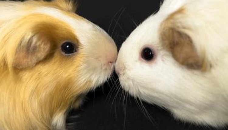 Are Guinea Pig Lice  Rat Mites the Same Thing? Animals - momme