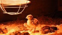How to Make a Heat Lamp for Chicks | Animals - mom.me
