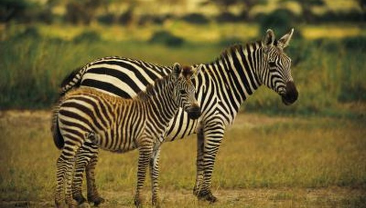 Cute Baby Pets Live Wallpaper Download Baby Zebra Facts Animals Mom Me