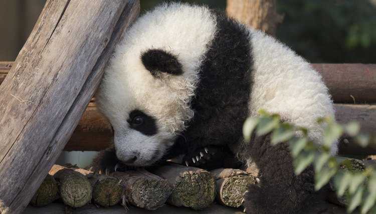 Cute Baby And Baba Wallpaper Facts About Baby Panda Bears Animals Mom Me