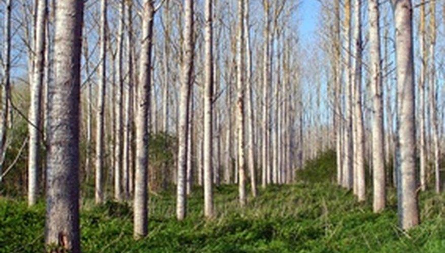 Poplar Tree Facts Garden Guides