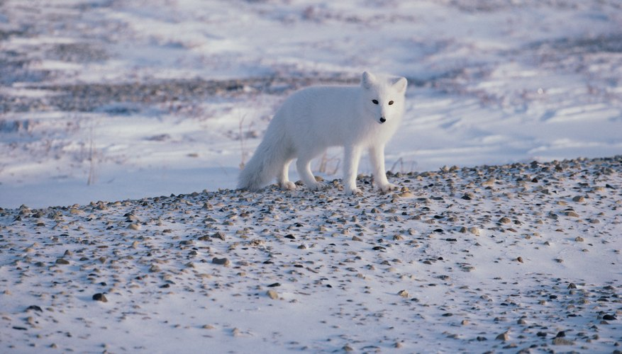 Plants Animals That Live In The Tundra Sciencing