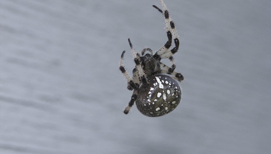 How to Identify Spiders With White Spots Sciencing