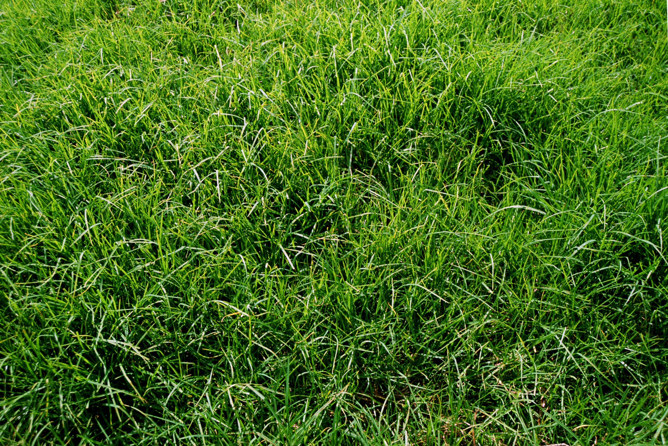 Pretentious When To Plant Centipede Grass Ehow Centipede Grass Seed Sale Near Me Centipede Grass Seed Head houzz-02 Centipede Grass Seed