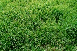 Small Of Centipede Grass Seed