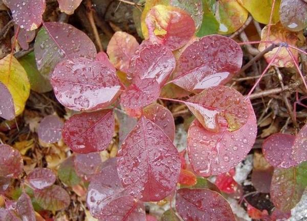 Скумпия осенью