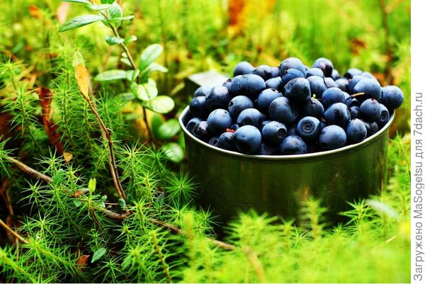 Собранный урожай черники - загляденье и объеденье :)