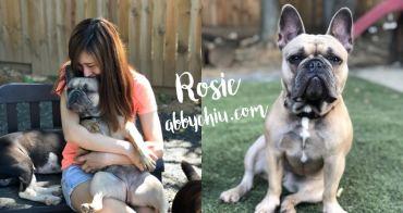 美國華盛頓交流計畫   我的寶貝 Rosie 法國鬥牛犬 法鬥 French Bulldog
