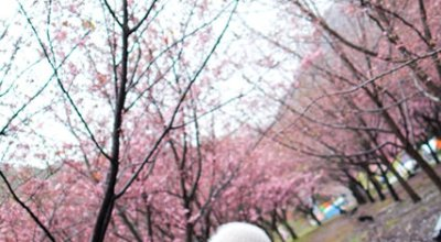 ▌旅遊 ▌賞櫻花~造訪遠的要王國武陵農場之旅!