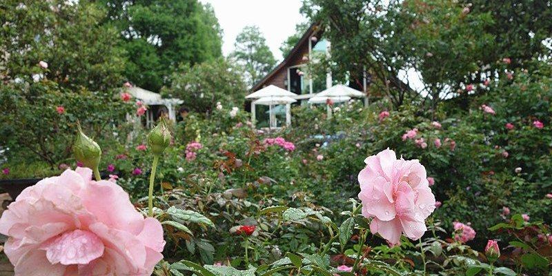 【彰化田尾景觀餐廳】全得玫瑰莊園;超浪漫玫瑰庭園!彰化田尾公路必訪咖啡下午茶莊園。