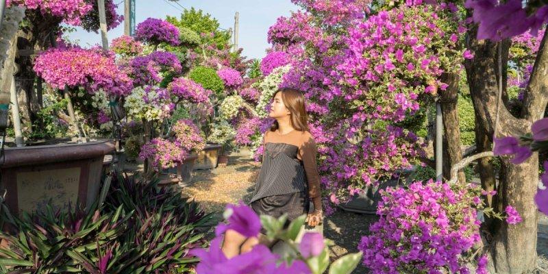 田尾九重葛之家(輝豐園藝)|彰化IG超夯打卡,如夢境般比人高的九重葛花海,圍繞在萬紫千紅花園。