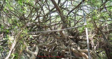 彰化景點竹塘九龍大榕公 一樹成林!一睹全台最大榕樹公壯闊綿延,近西螺大橋舊橋。
