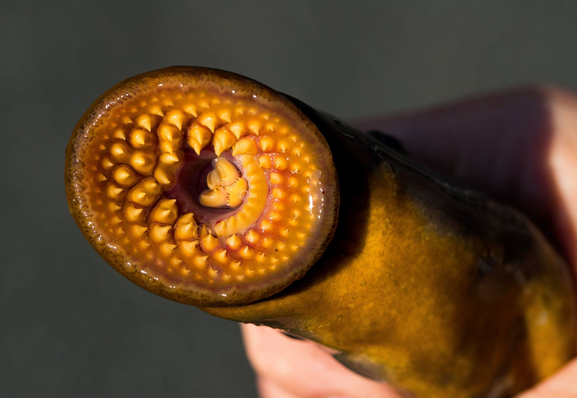 Sea Lamprey Bite Vampire Of The Great Lakes Still Haunts Lake Superior Fish Mpr News