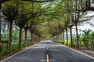 |屏東‧潮州|泗林健走步道,一公里長的小葉欖仁綠色隧道