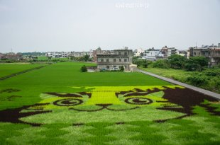 |苗栗景點|2017年彩繪稻田,一起愛石虎