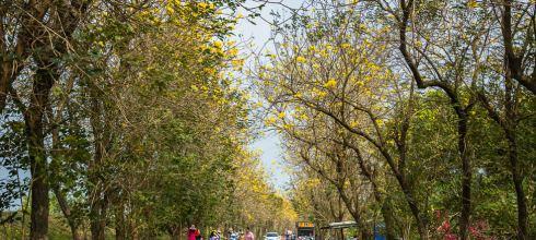 |嘉義景點|朴子溪防汛道,黃金風鈴木隧道